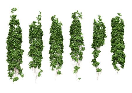 Groene klimop plant geïsoleerd.