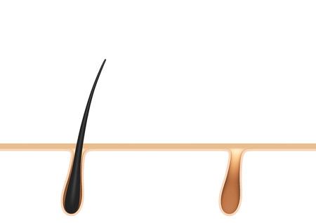 pores: hair follicle.cross section.