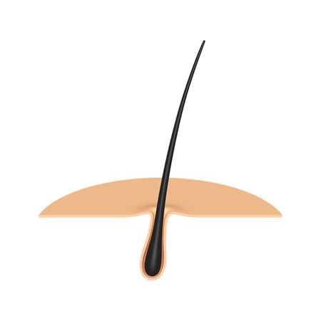 hair follicle.cross section.