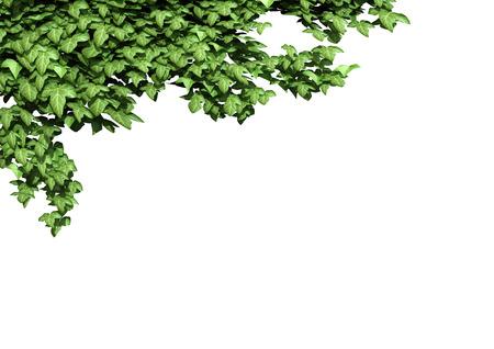 ivy vine: Ivy frame. 3D illustration.