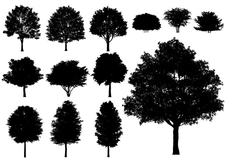 trees silhouette: Vector deciduous tree isolated on a white background.