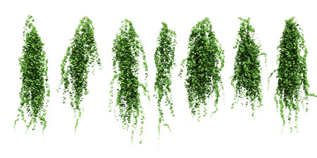 greenness: Ivy leaves isolated on a white background. Stock Photo