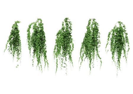 Ivy leaves isolated on a white background. Banco de Imagens