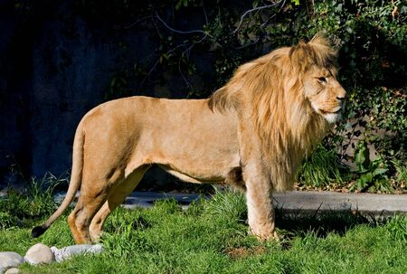 African Lion Imagens