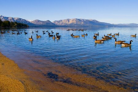 Canadian Geese swimming in Lake Tahoe Stock Photo - 6149642