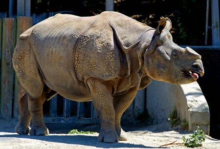 horned:  Horned Rhinoceros