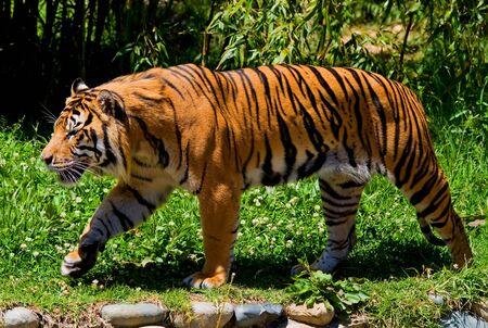 Grande tigre camminando per una giardino/foresta