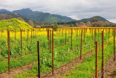Vineyard in the spring photo