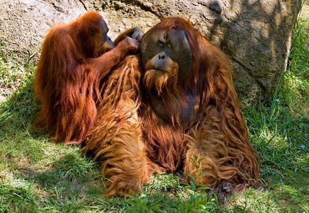 sumatran: Sumatran Orangutan