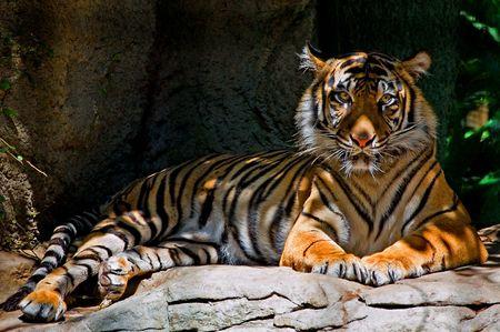 tiger Stock Photo - 7066560