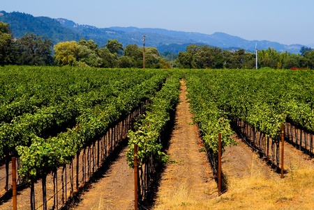 sonoma: Napa Valley vineyard in California