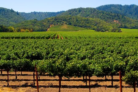 Napa Valley vineyard in California Stock Photo - 9187613