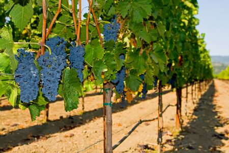 Wine grapes on the vine in Napa Valley  photo