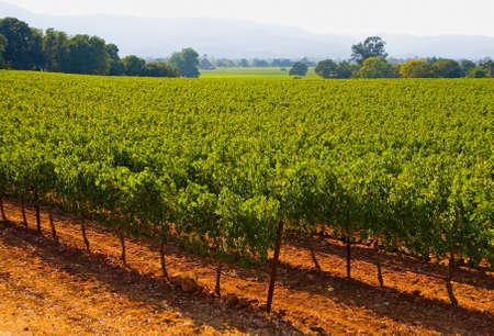 Napa Valley vineyard in California at sunset photo