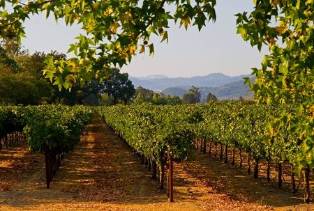 sonoma: Napa Valley vineyard in California at sunset