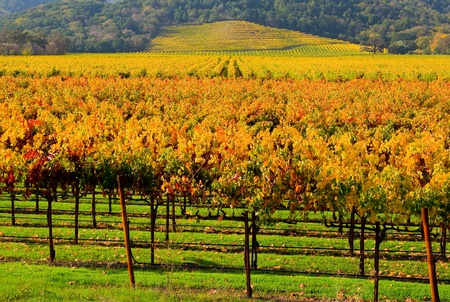 sonoma: Vineyard in Napa Valley in Autumn