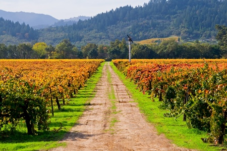 wine road: Vineyard in Napa Valley in Autumn