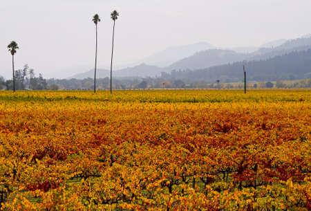 Vineyard in Napa Valley in Autumn  photo