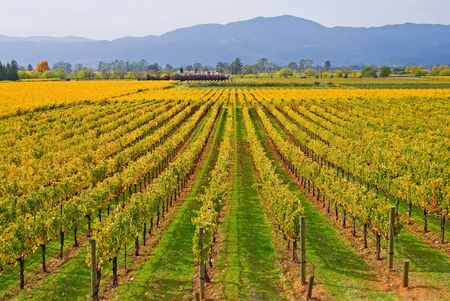 Vineyard in Napa Valley in Autumn  photo