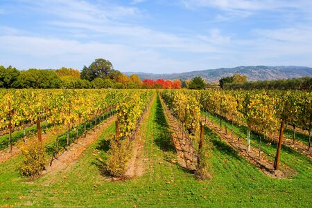 napa valley: Vineyard in Autumn