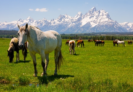 horse in snow: Grand Teton National Park