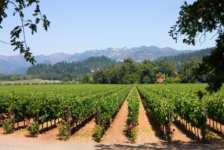 Vineyard in California 免版税图像