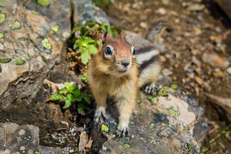 Cute little chipmunk sitting on a rock 版權商用圖片