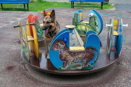 The German shepherd loves to ride on the children's carousel.