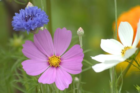 Pink and white cosmos against green background. Imagens