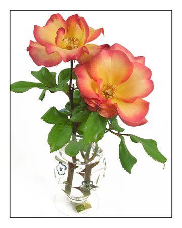 playboy: Rose 'playboy' snijbloem regeling in water gevulde vaas tegen witte achtergrond.