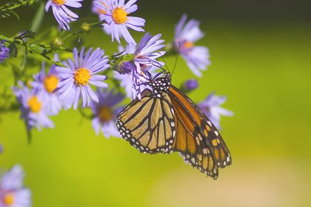 aster: Butterfly on alpine aster flower.