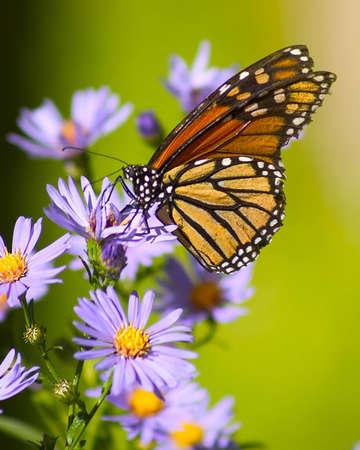 Butterfly on alpine aster flower.