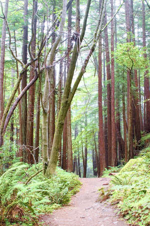 The hiking path leads into a redwood forrest on a wet foggy morning.