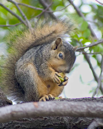 Ssquirrel in tree eating. Imagens