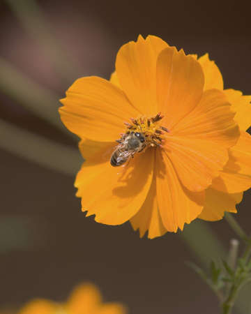 Honey bee gathering pollen from a cosmos flower.