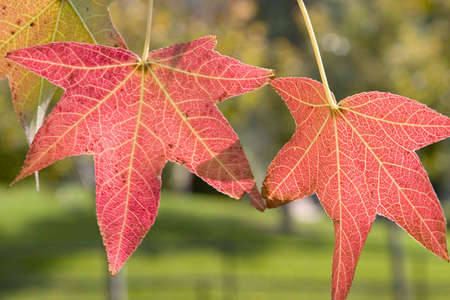 Three red autumn leaves hanging from tree and changing color.