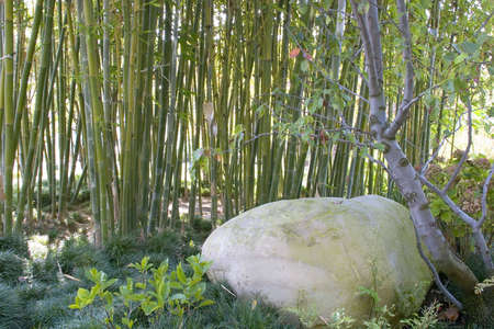 Large boulder in a small bamboo arrangement. Imagens