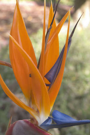 Colorful bird of paradise blooming in a sunny garden.