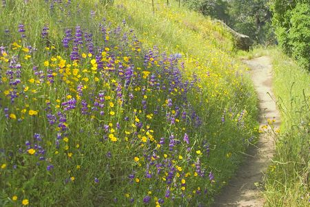 Walking path cuts through field of yellow and purple wild flowers.