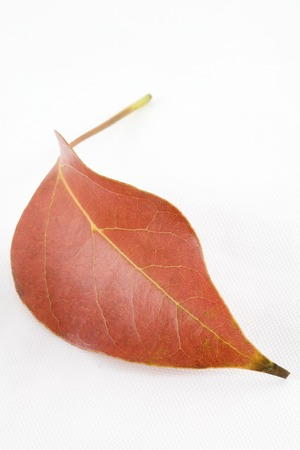 image of a single fallen autumn leaf on a white background