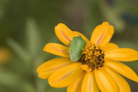 adult southern green stink bug on an orange flower. Imagens