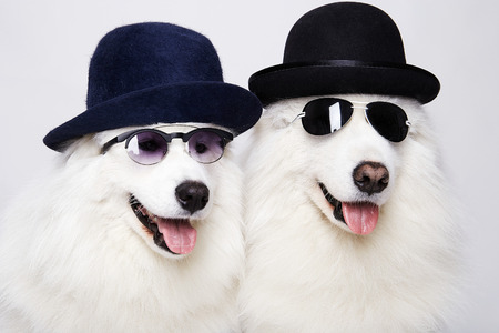 funny couple of dogs in hats and sunglasses. Cute white doggy family