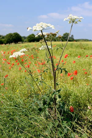 Normandy, France, July 2013. Rapeseed field overgrown by weed like cow parsnip and poppies