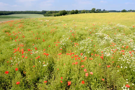 Normandy, France, July 2013. Rapeseed field overgrown by weed like poppies and chamomile