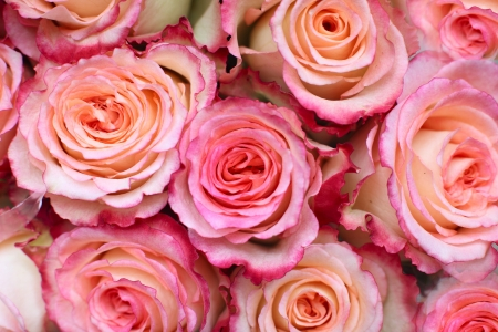 Background of closeup view of pink roses photo