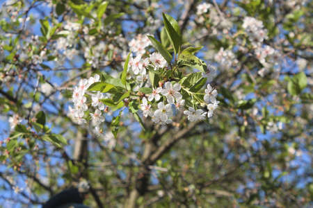 Close up of chokeberry flowers on spring background photo