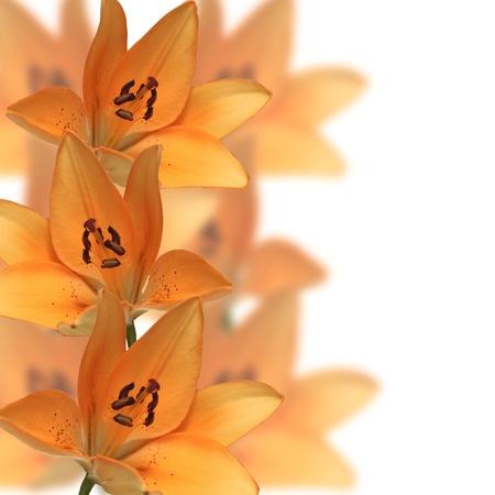 oranje lelie: Grens van oranje lelie bloemen