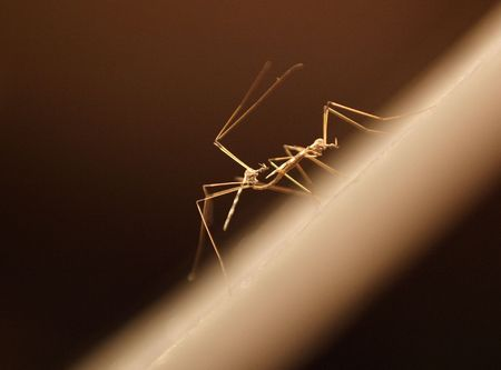 copulate: two mosquitos mating in the dark