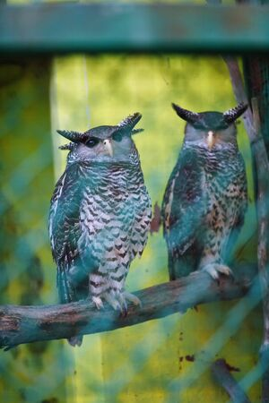 portrait of two eagle-owl sitting on the branch look in camera in Trivandrum, Thiruvananthapuram Zoo Kerala India Stock Photo