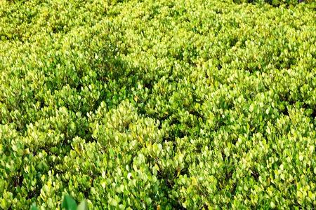 Close-up of Thung Kha Bay mangrove forest, Chumphon, Thailand, river view